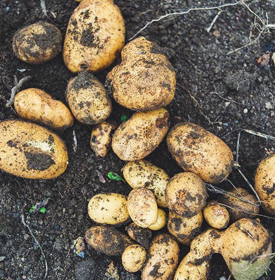Nye kartofler